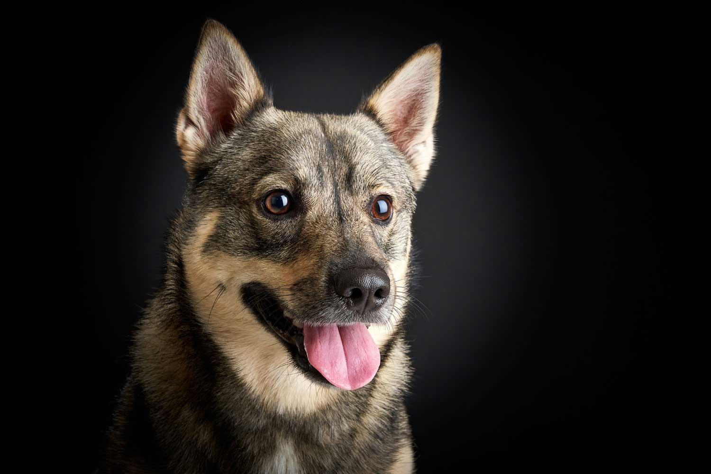 Dog Portrait Studio Photography 0001