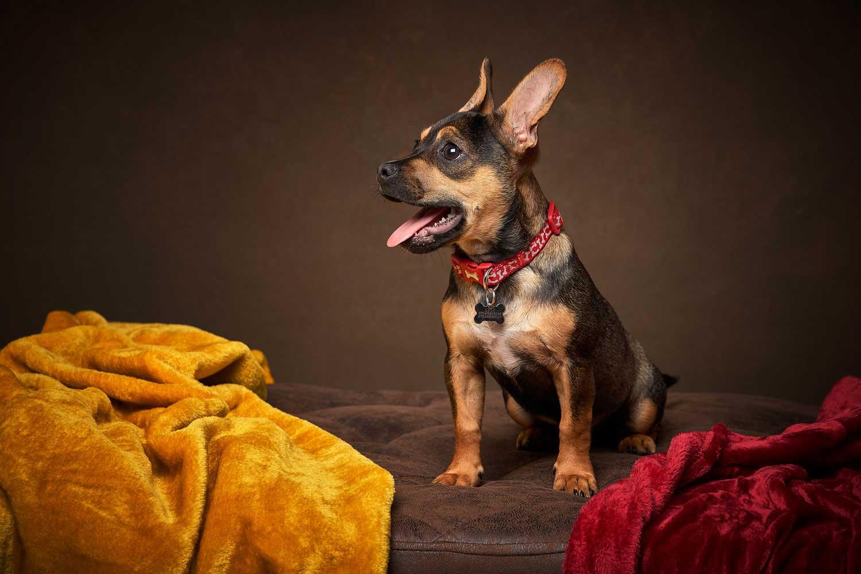 Dog Portrait Studio Photography 0002