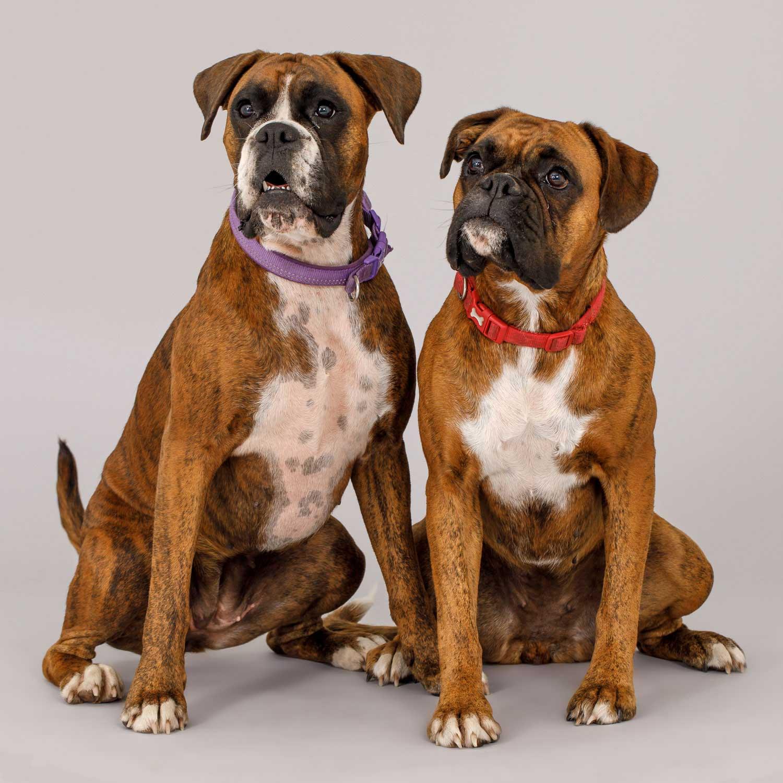 Dog Portrait Studio Photography 0006