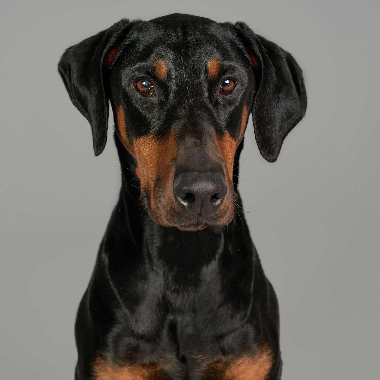 Dog Portrait Studio Photography 0017