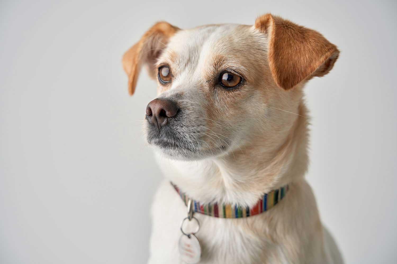 Dog Portrait Studio Photography 0020