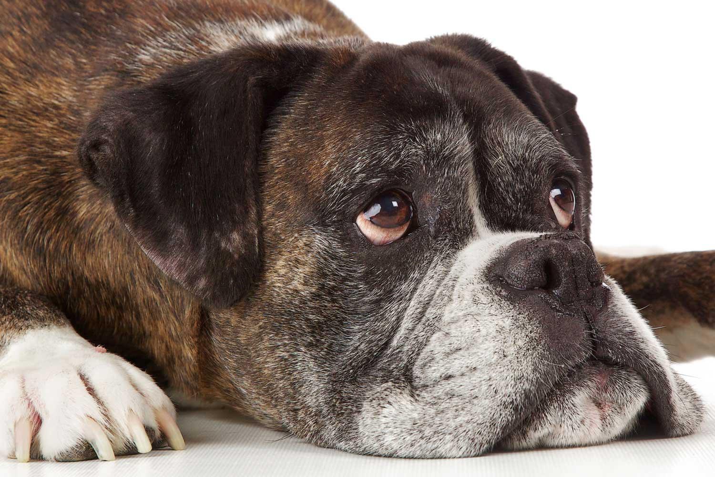Dog Portrait Studio Photography 0021