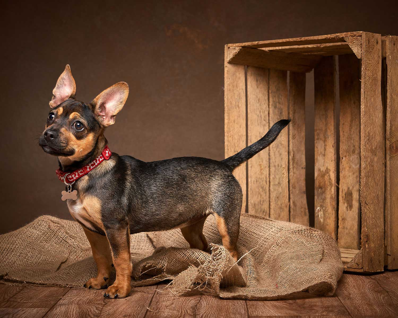 Dog Portrait Studio Photography 0022