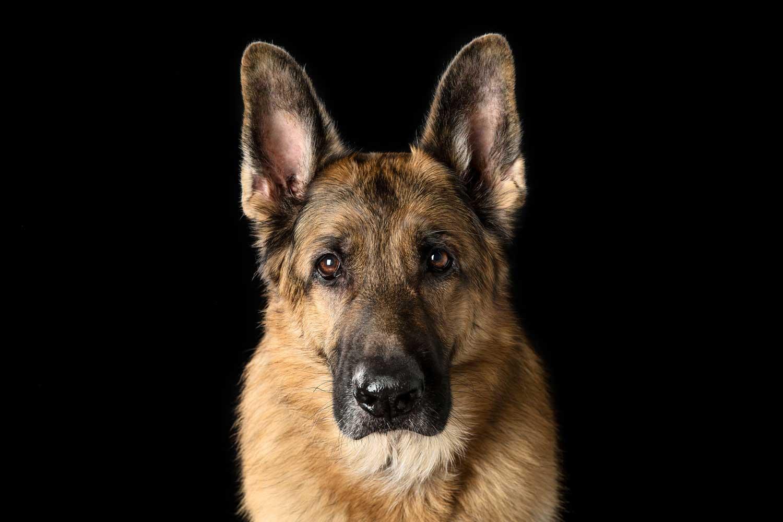 Dog Portrait Studio Photography 0024