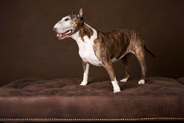 Dog Portrait Studio Photography 0037