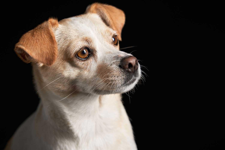 Dog Portrait Studio Photography 0039