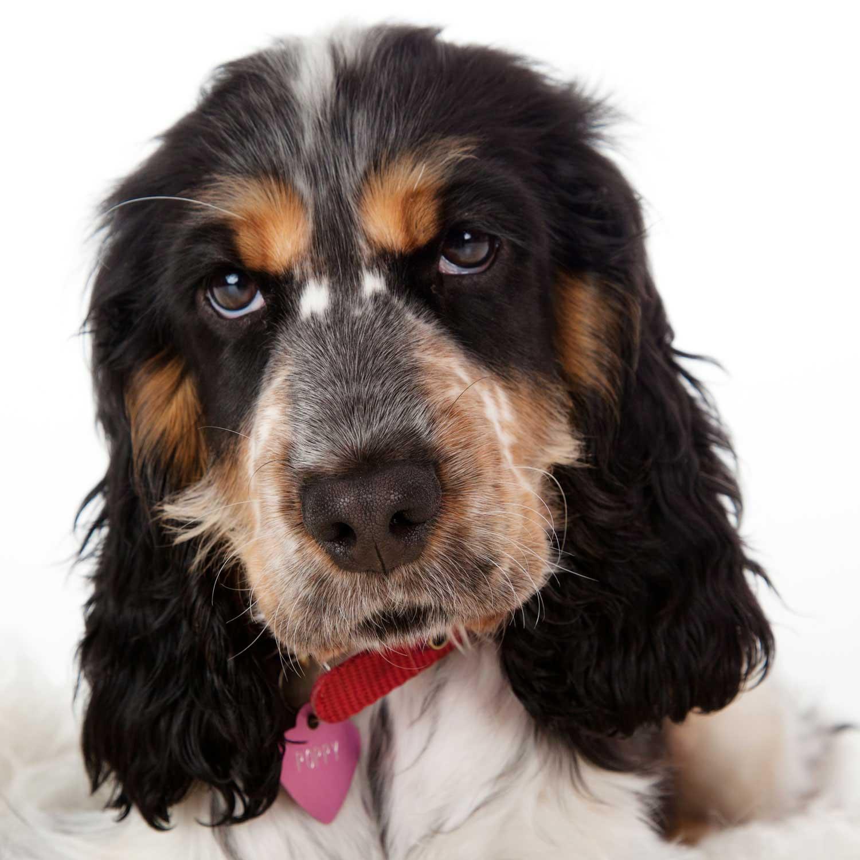 Dog Portrait Studio Photography 0040