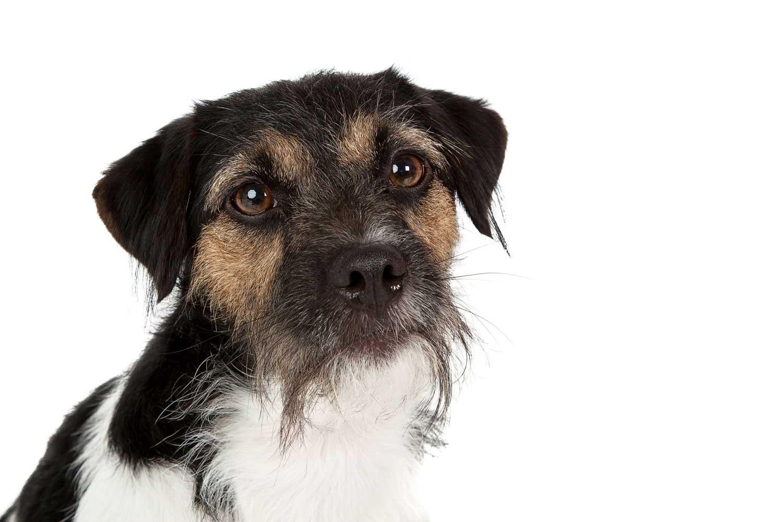 Dog Portrait Studio Photography 0042