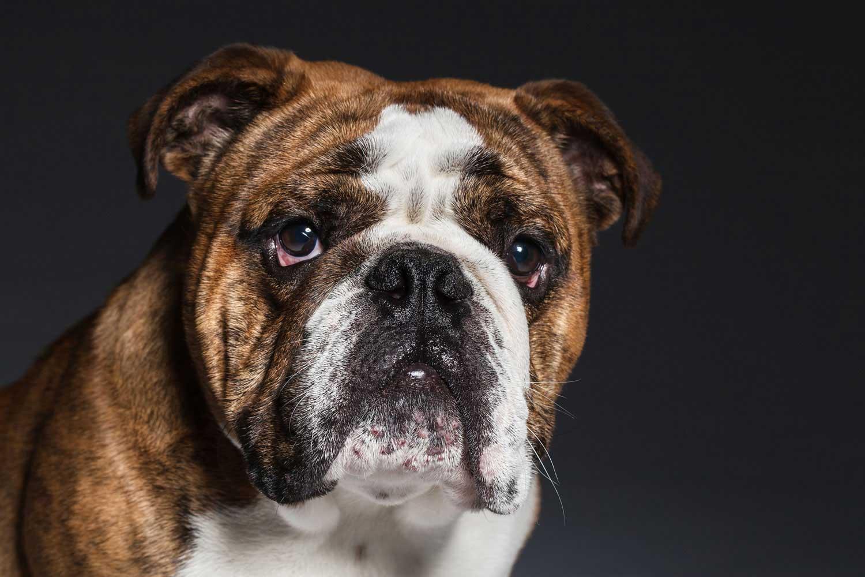 Dog Portrait Studio Photography 0044